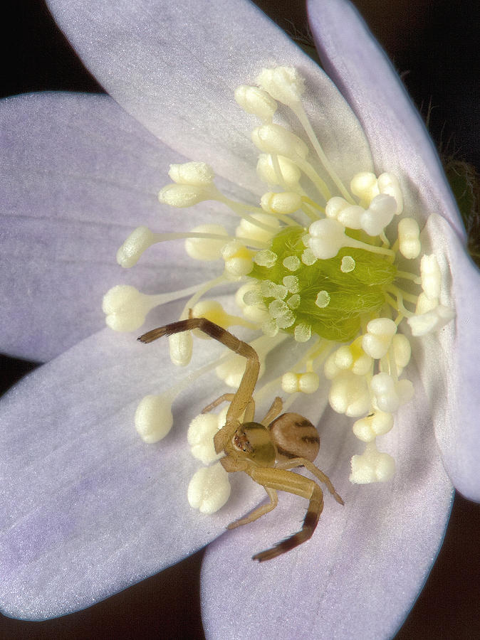 Crab Spider Photograph  - Crab Spider Fine Art Print