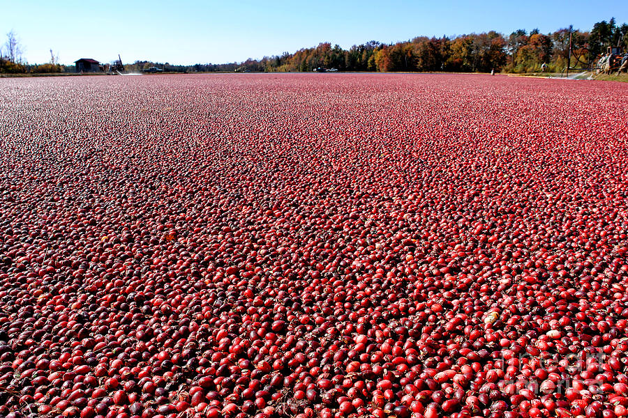 Cranberry Bog In New Jersey Photograph