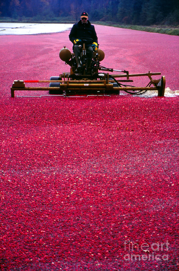 Red Photograph - Cranberry Harvest by Eva Kato