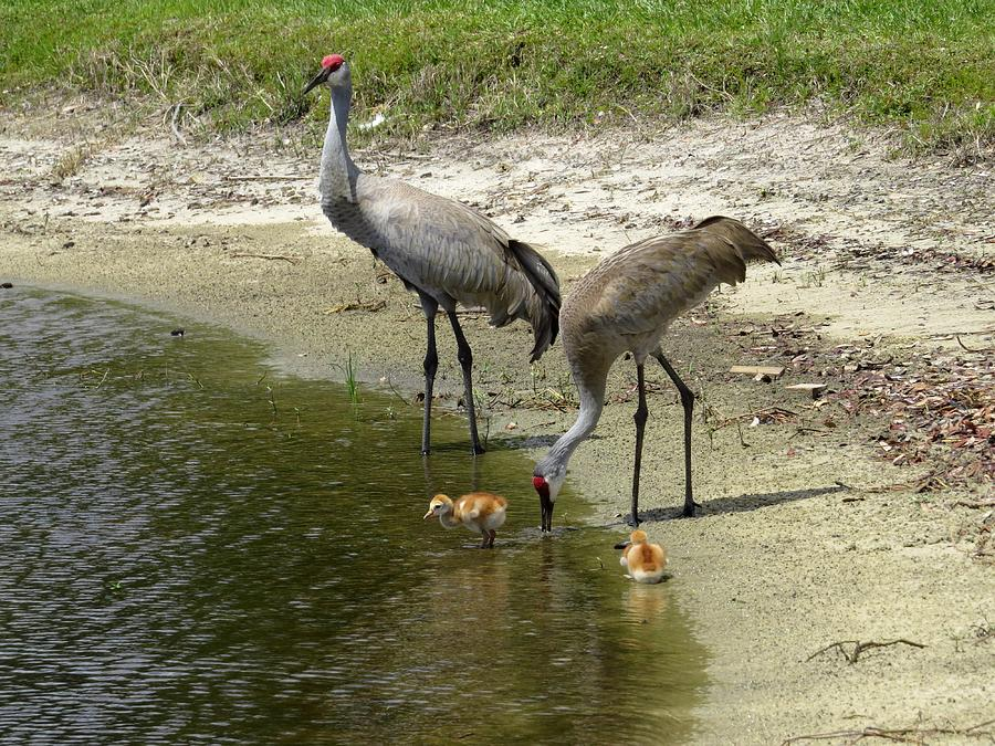Cranes In The Lake Photograph