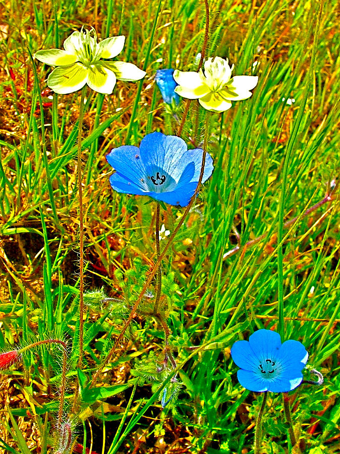 Cream Cups And Baby Blue Eyes In Park Sierra Photograph  - Cream Cups And Baby Blue Eyes In Park Sierra Fine Art Print