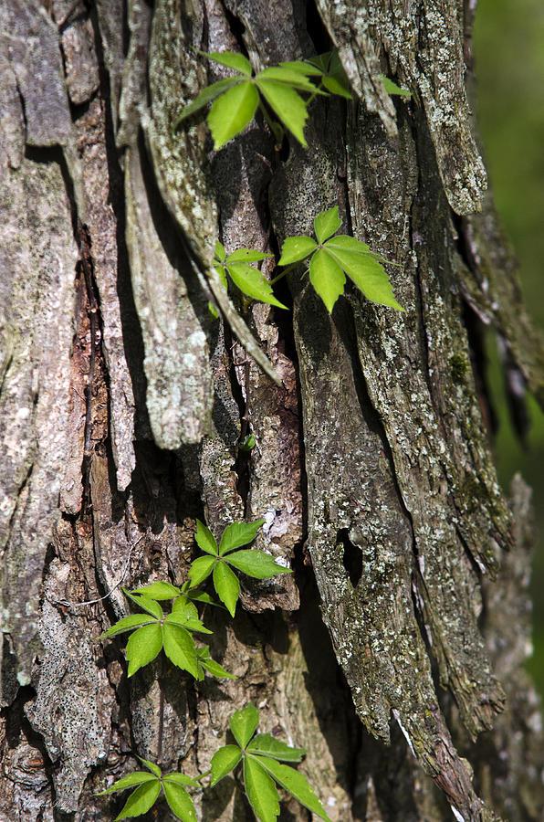 Creeping Vine On Shagbark Hickory Photograph
