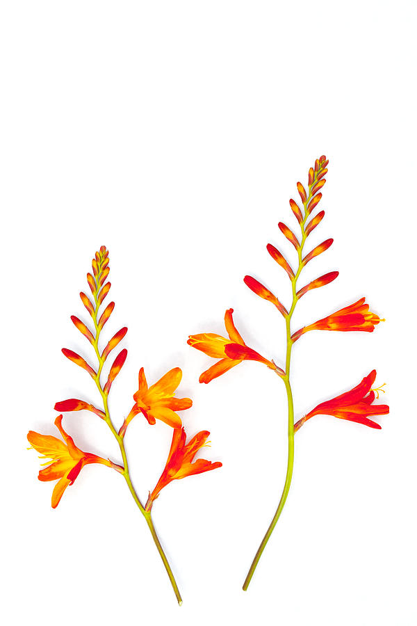 Crocosmia Photograph - Crocosmia On White by Carol Leigh