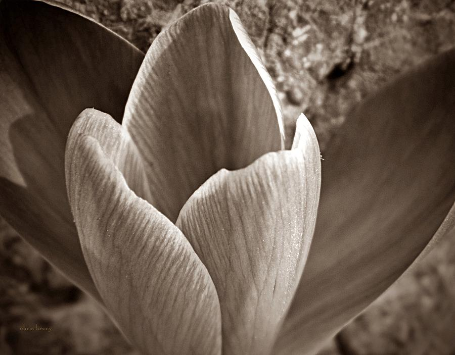 Crocus Photograph - Crocus  by Chris Berry
