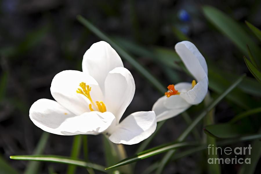 Crocus Photograph - Crocus Flower Basking In Sunlight by Elena Elisseeva