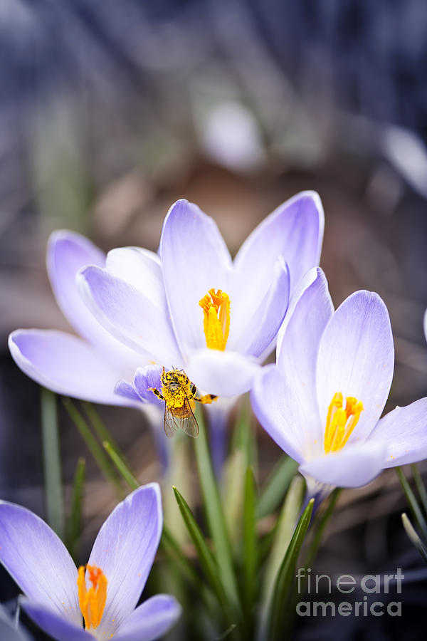 Crocus Flowers And Bee Photograph  - Crocus Flowers And Bee Fine Art Print