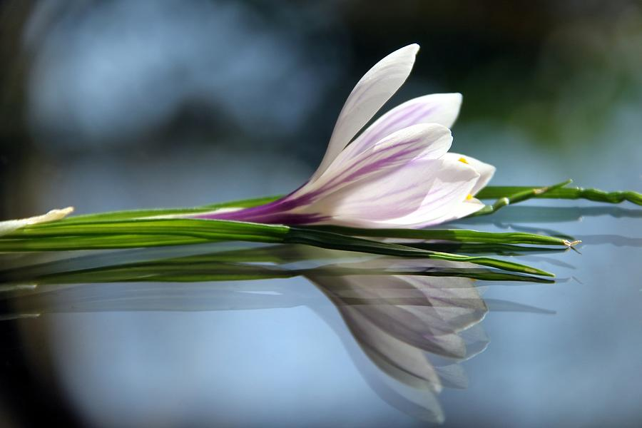 Crocus Reflections Photograph  - Crocus Reflections Fine Art Print