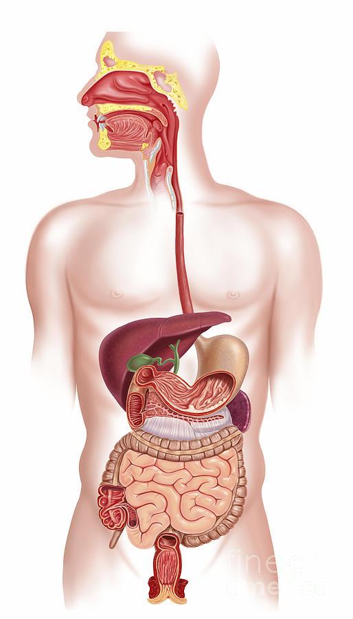 Cross Section Of Human Digestive System Digital Art