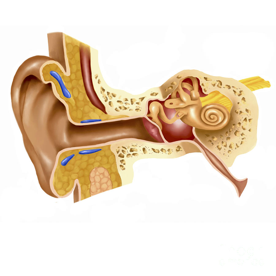 An Overview Of The Human Ear Custom Paper Help Sotermpaperjaua
