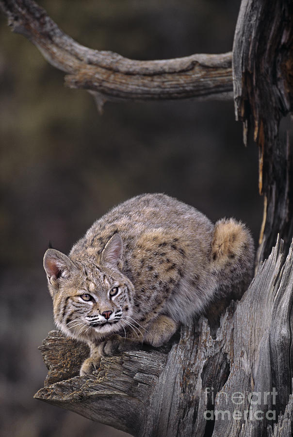 North America Photograph - Crouching Bobcat Montana Wildlife by Dave Welling