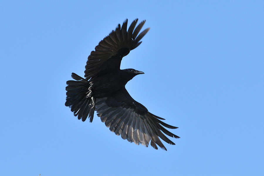 Crow In Flight by Brad...