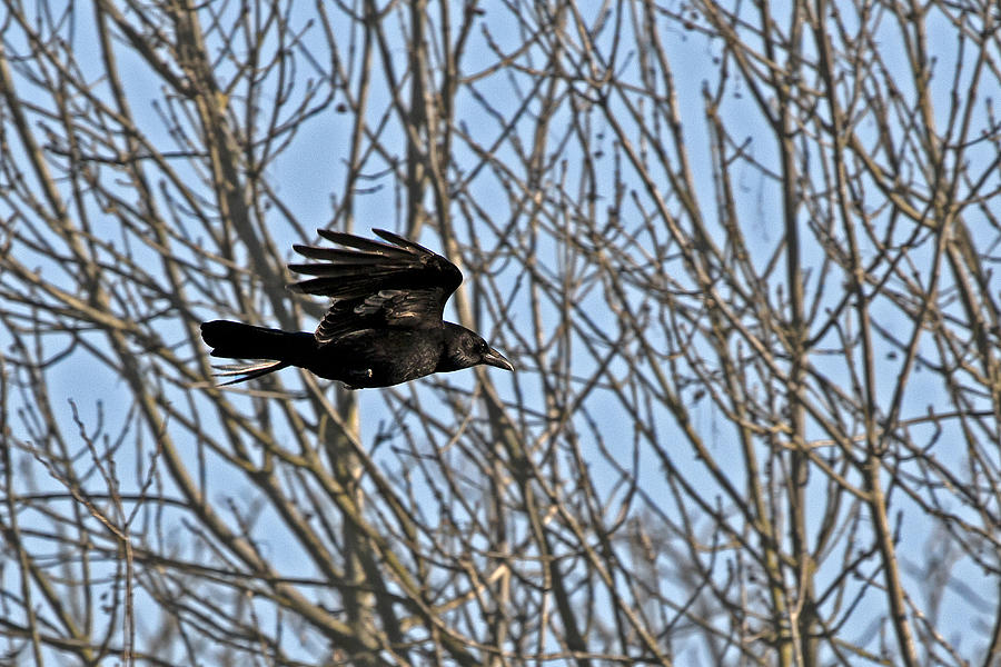 Crow In Flight Photogr...