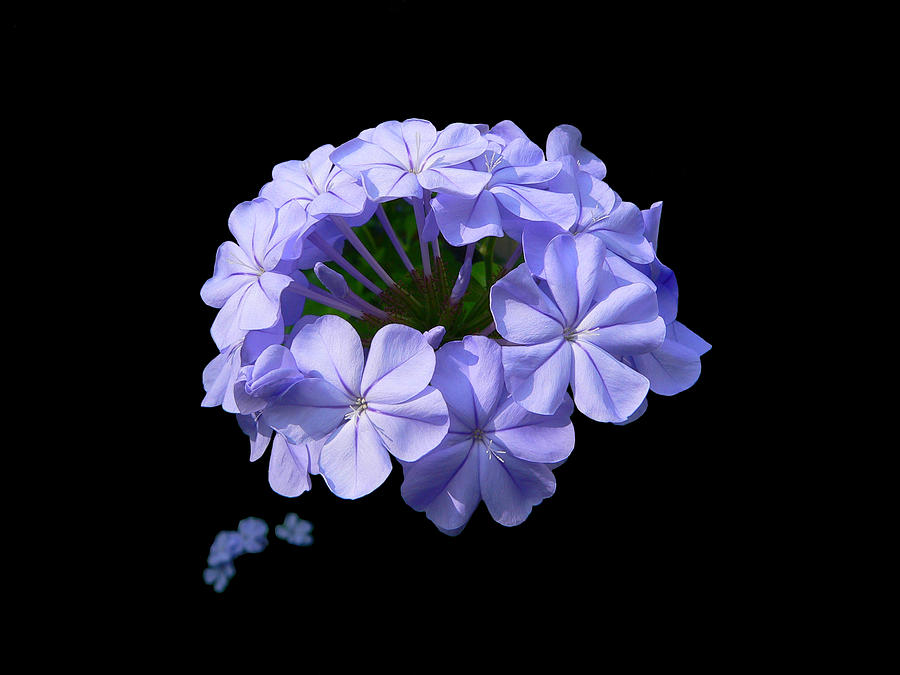 Plumbago Photograph - Crown Of Glory by Doug Norkum