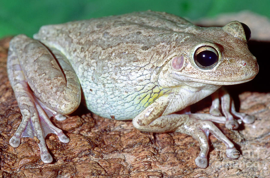 Cuban Tree Frog Osteopilus Photograph