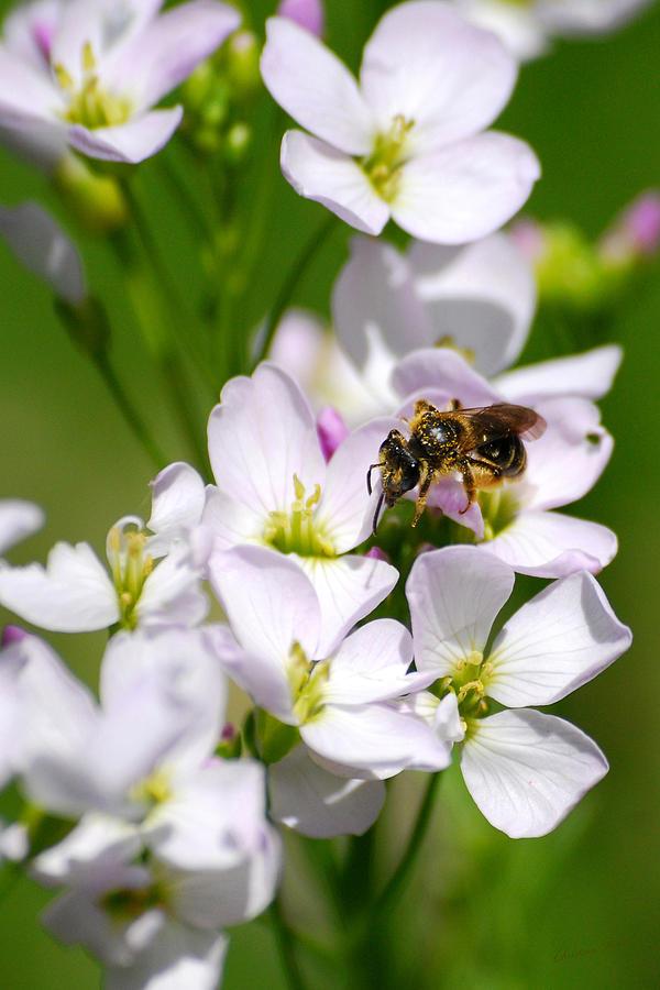 Cuckoo Flowers Photograph