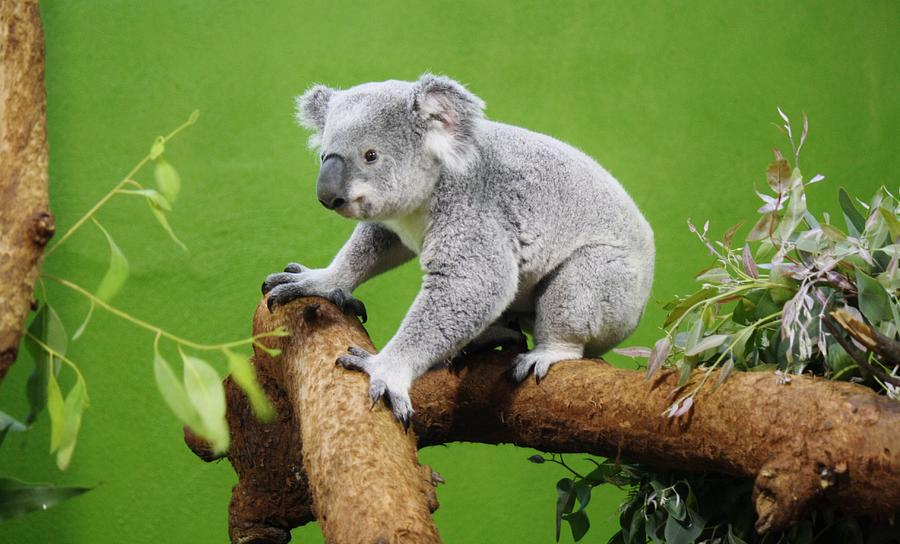 Koala bears cuddling