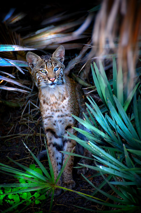 Bobcat Photograph - Curious Bobcat by Mark Andrew Thomas