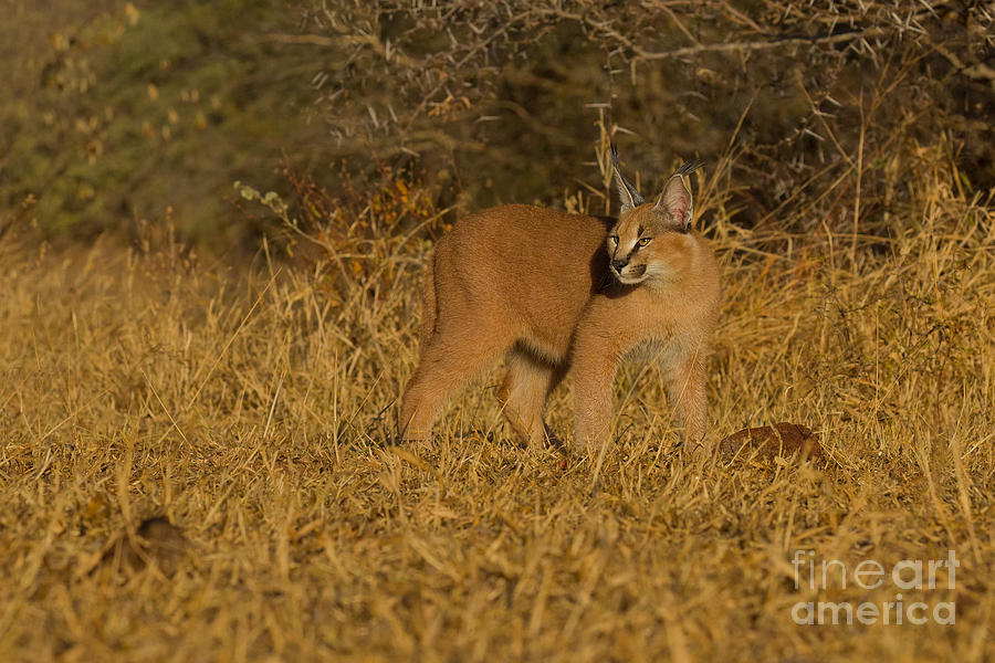 Curious Caracal Cub Photograph