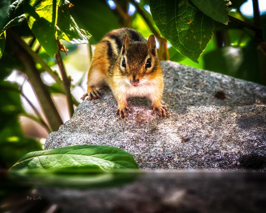 Chipmunk Photograph - Curious Chipmunk  by Bob Orsillo