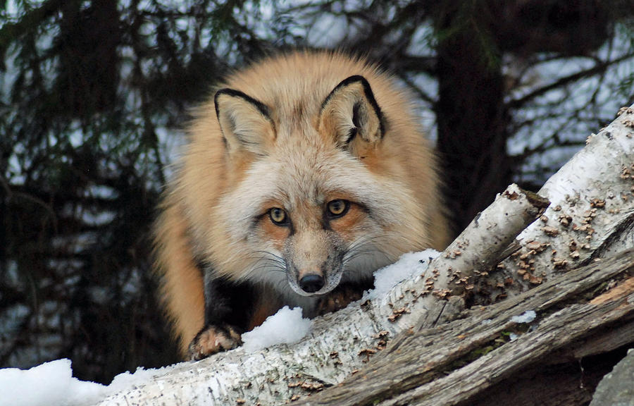 Curious Fox Photograph