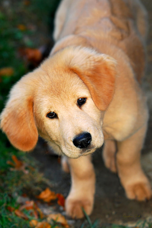 Curious Golden Retriever Pup Photograph