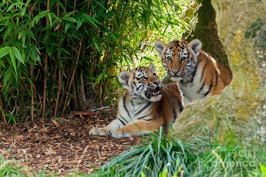 Cute Siberian Tiger Cubs | www.imgkid.com - The Image Kid ... Cute Siberian Tiger Cubs