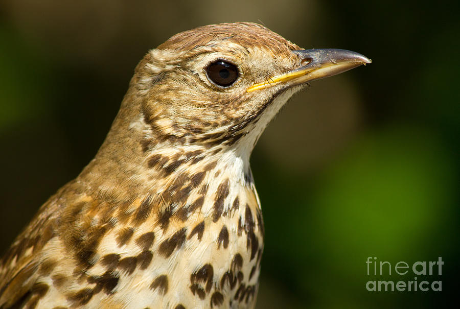 Cute British Song Thrush Bird Close Up Photograph  - Cute British Song Thrush Bird Close Up Fine Art Print