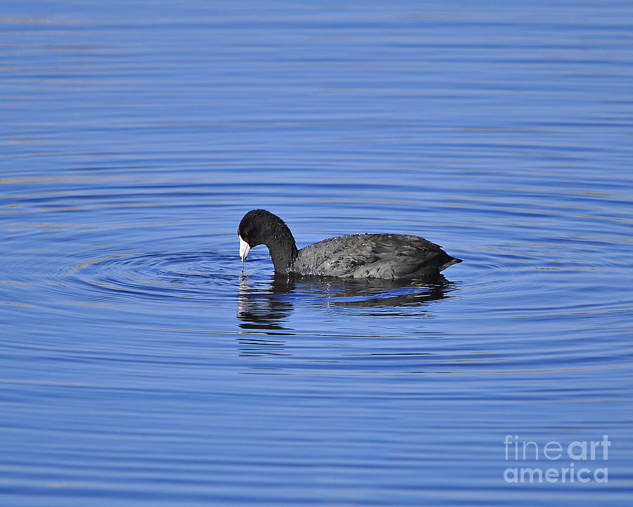 Cute Coot Photograph  - Cute Coot Fine Art Print