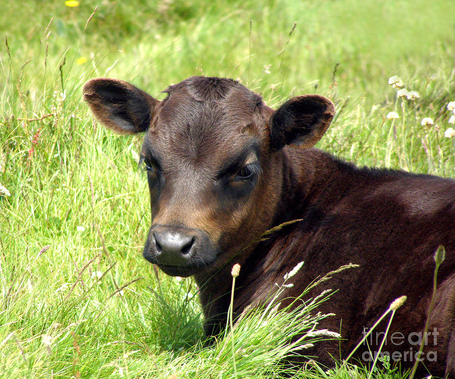 Dexter Cow Photograph - Cute Cow by Terri Waters