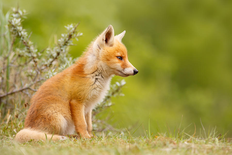 Pinocchio Cute Fox Kit Photograph By Roeselien Raimond