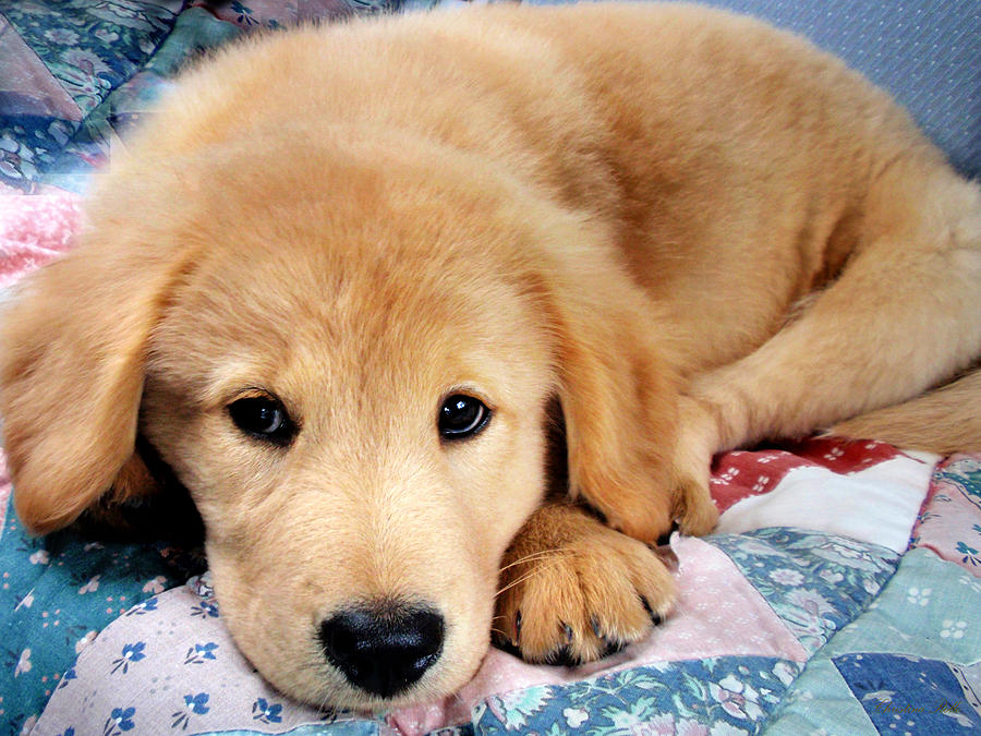 Cute Golden Retriever Puppy Laying Down Photograph