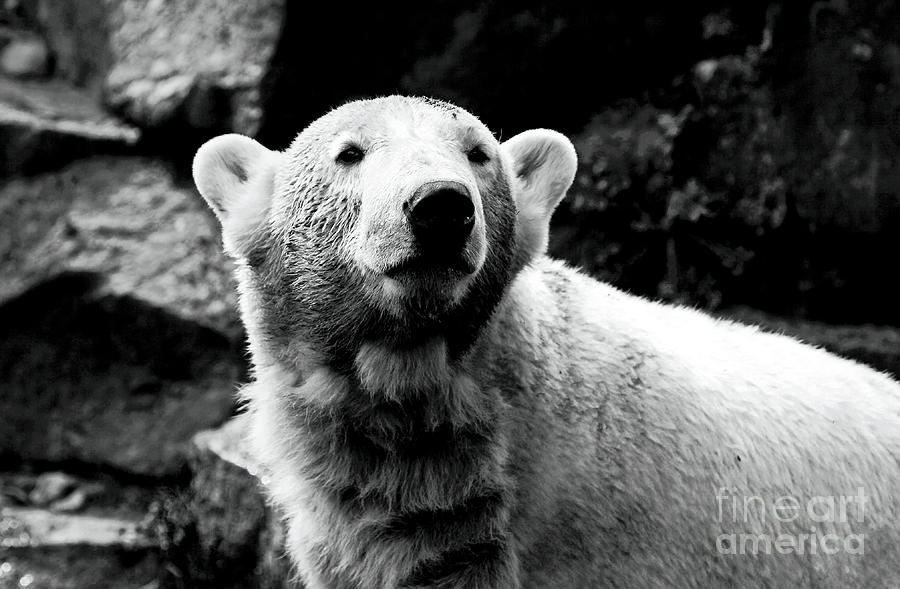 Cute Knut Photograph - Cute Knut by John Rizzuto