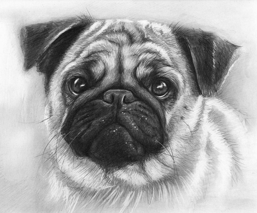 Cute Pug Drawing