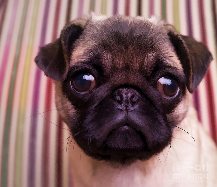 Pug Puppy Cute Dog Breed Portrait Pet Animal Toy Lap Photograph - Cute Pug Puppy by Edward Fielding