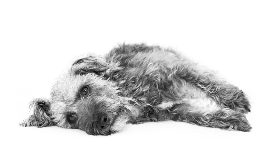Cute Pup Lying Down - Black And White Photograph  - Cute Pup Lying Down - Black And White Fine Art Print
