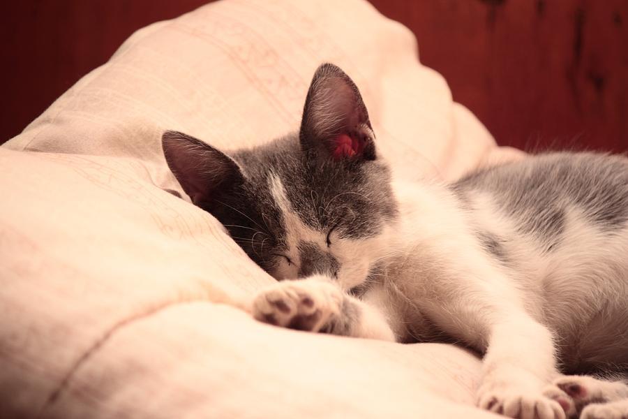 Kitten Photograph - Cute Sleeping Kitten by Tilen Hrovatic