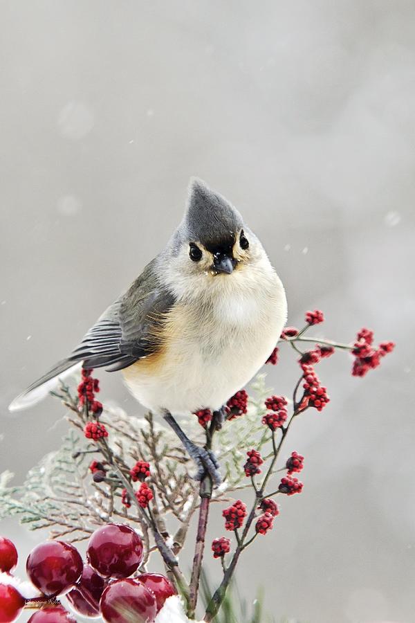 Winter bird images - photo#31