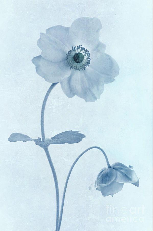 Cyanotype Windflowers Photograph