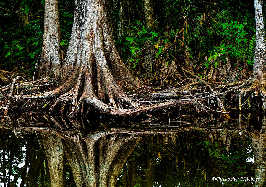 Cypress Roots Photograph