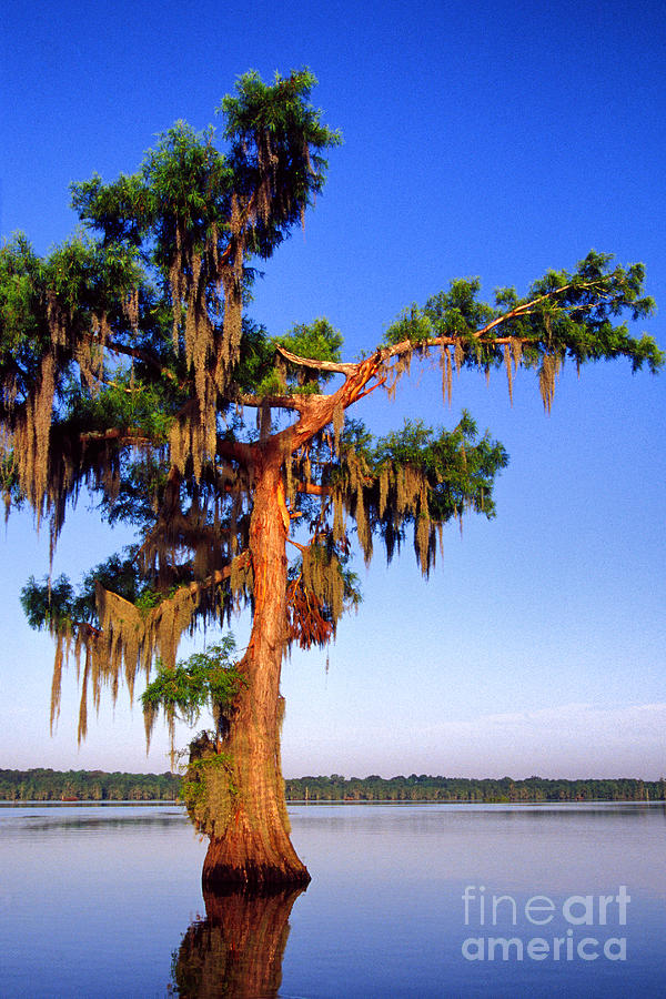 Cypress Tree Draped In Spanish Moss Photograph
