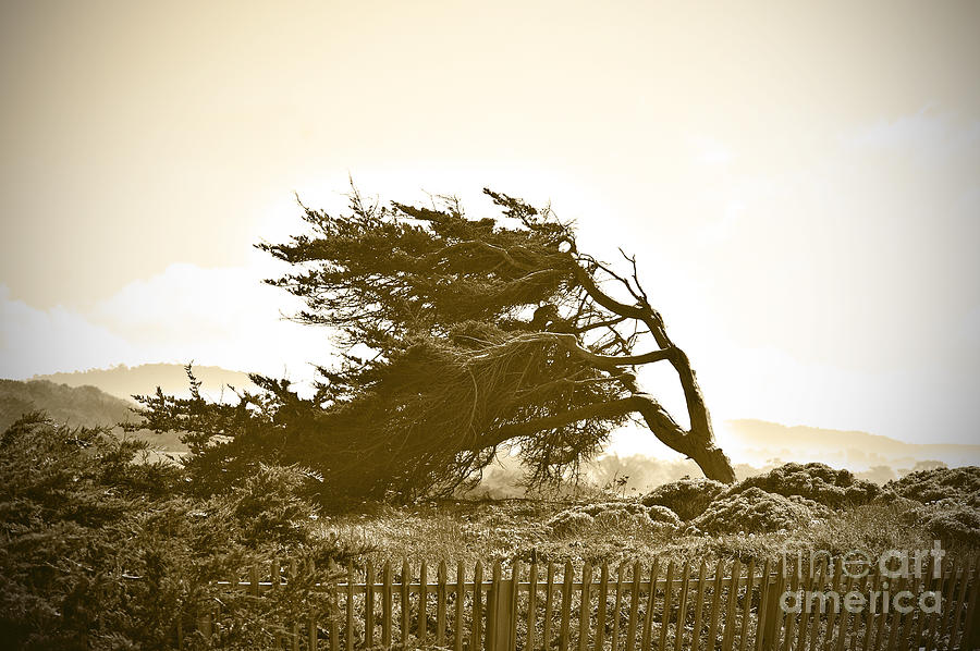 Cypress Trees In Monterey Photograph  - Cypress Trees In Monterey Fine Art Print