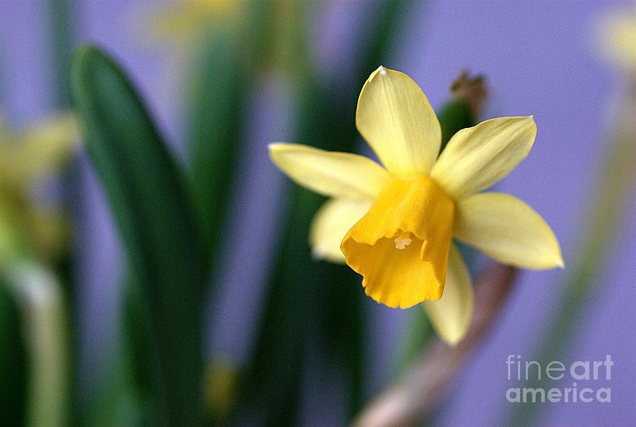 Daffodil Photograph - Daffodil by AmaS Art