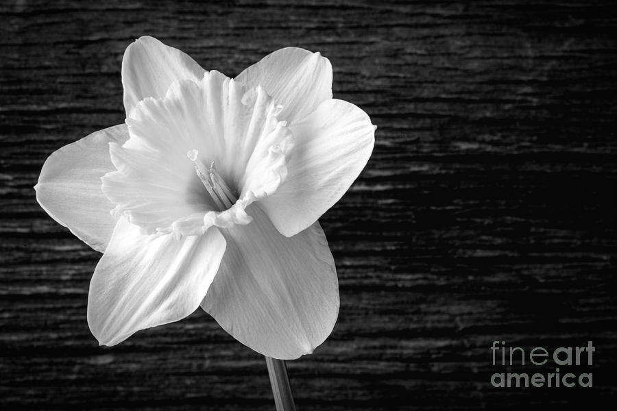 Daffodil Narcissus Flower Black And White Photograph by ...