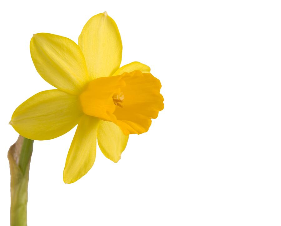 Photography Pyrography - Daffodil Flower Isolated On White by Anna Kaminska