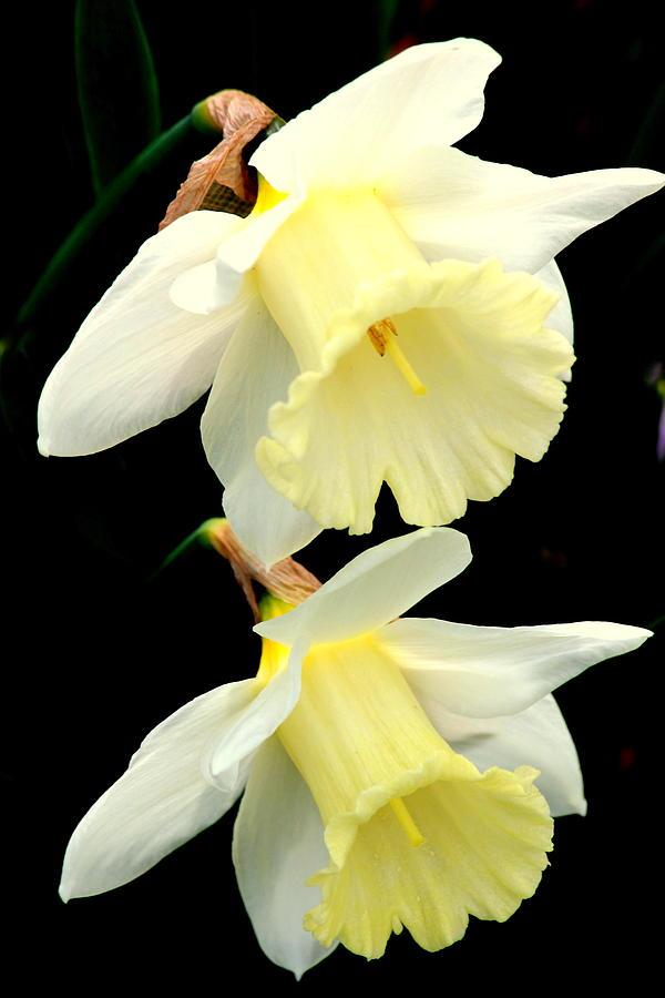 Daffodil Friendship Photograph  - Daffodil Friendship Fine Art Print