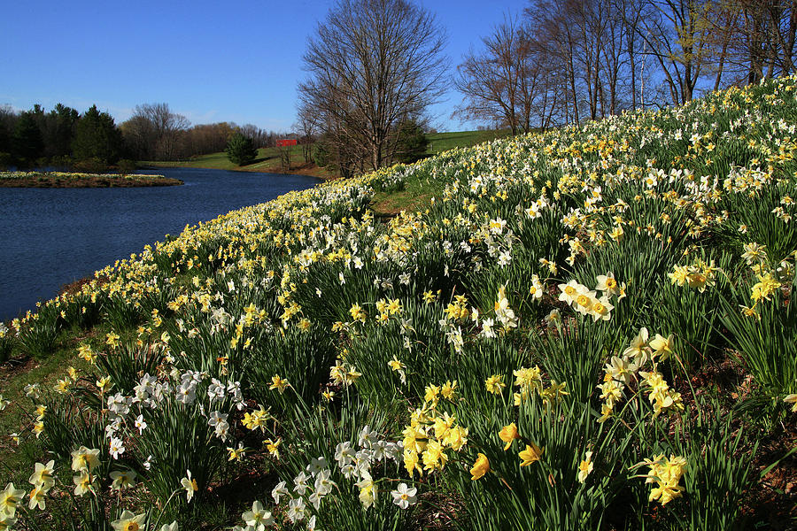 Daffodil Hill Photograph