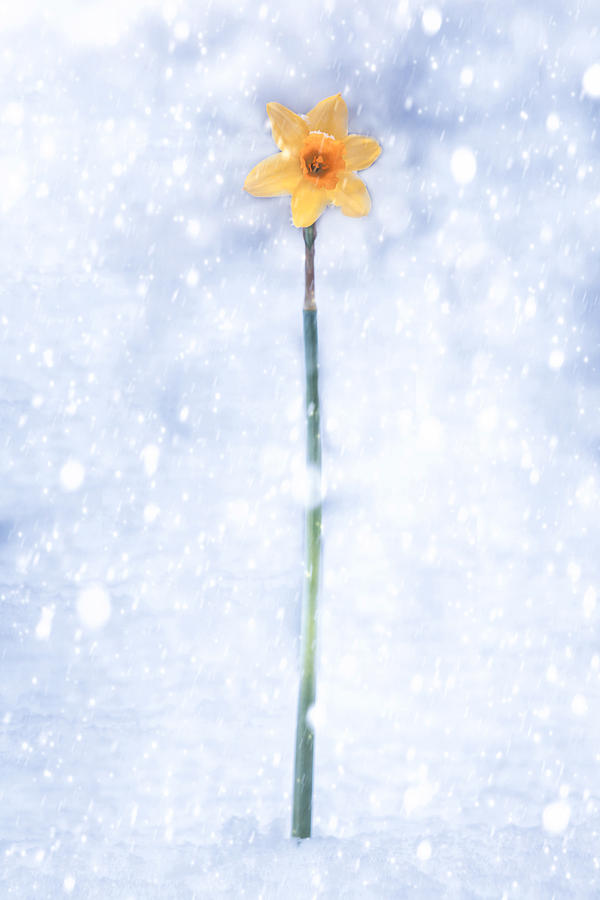 Daffodil In Snow Photograph