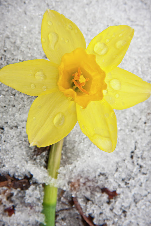 3scape Photos Photograph - Daffodil In Spring Snow by Adam Romanowicz