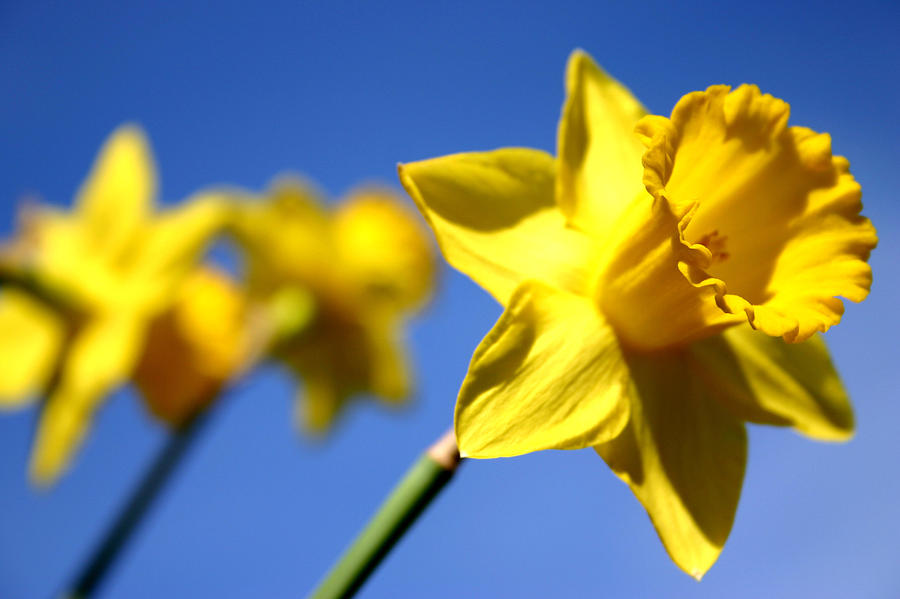 Daffodil Line Painting