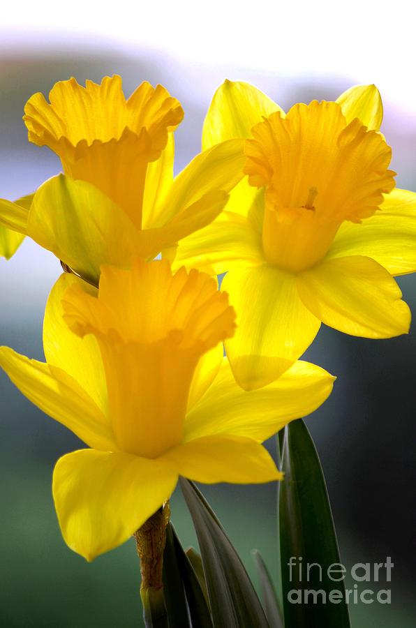 Daffodils Spring Forth Photograph by Deb Halloran
